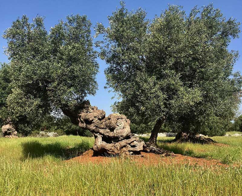 ulivi-secolari-ostuni