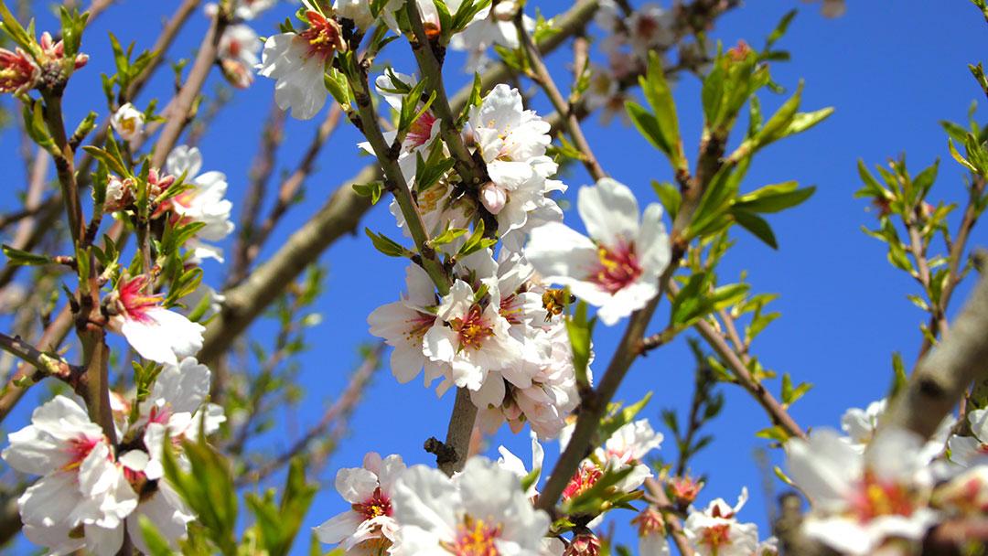 fiori-mandorlo-puglia