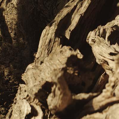 forme-tronco-ulivo