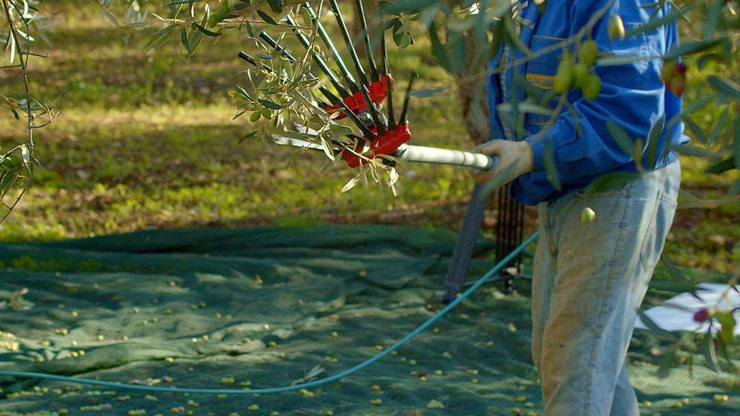 raccolta-olive-tradizionale-ostuni